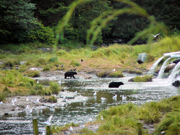 Bears at Herring Bay